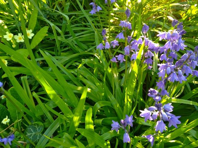 Bluebells ~ Anita Flowers